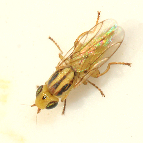Frit Fly - Meromyza