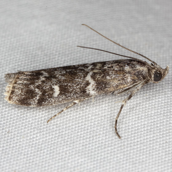Pyralidae IMG_5056 - Dioryctria abietivorella