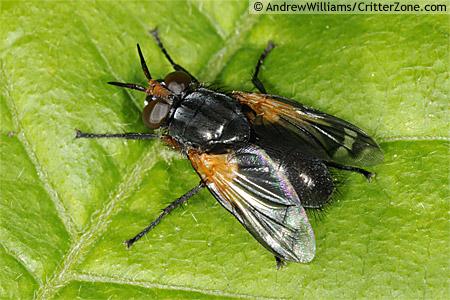 Euthera - Euthera tentatrix