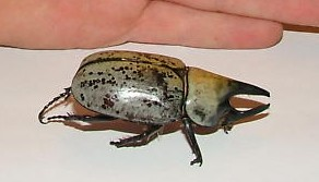Please tell me what this bug is - Dynastes tityus - male