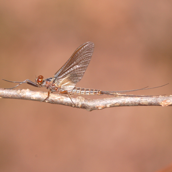 March mayfly - Leptophlebia - male