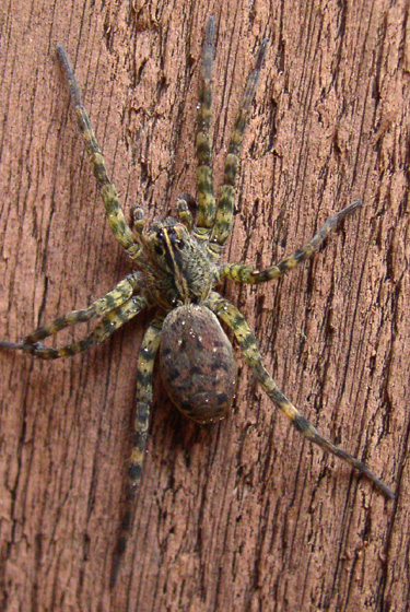 Large, hairy spider with boldly striped legs - Tigrosa georgicola