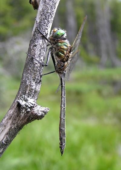 Hudsonian Emerald - Somatochlora hudsonica - male