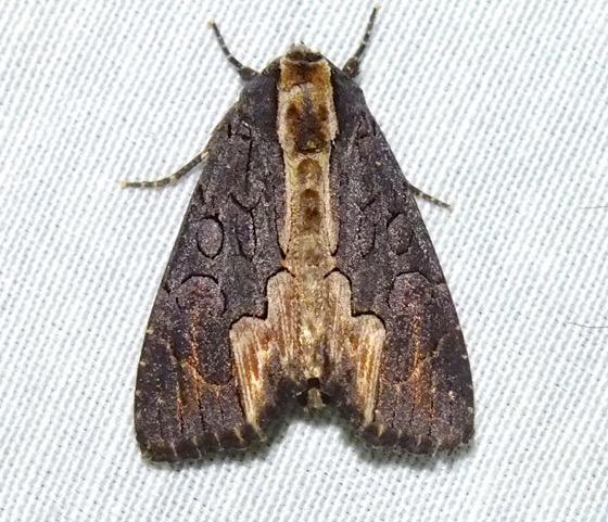 American Bird's-wing Moth - Dypterygia rozmani