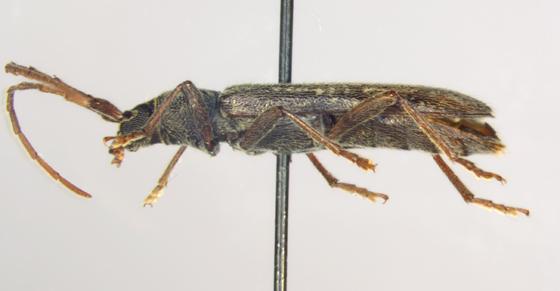Cerambycidae, lateral - Anelaphus villosus