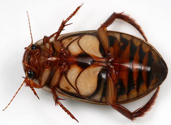 dytiscid - Dytiscus fasciventris