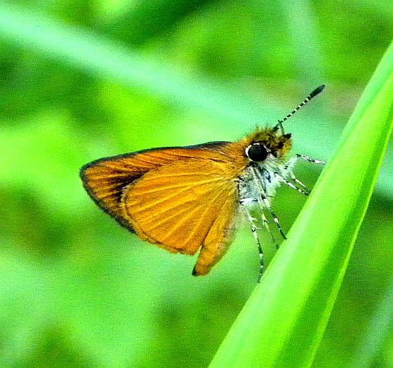 Pennsylvania Butterfly - Ancyloxypha numitor