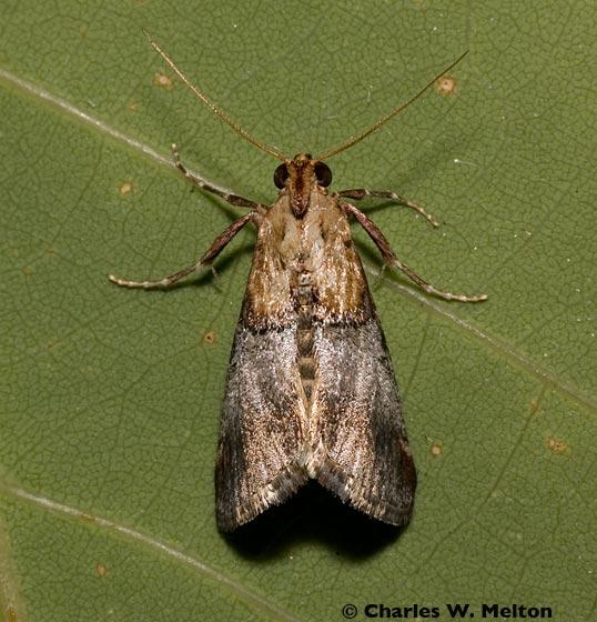 Moth - Cacozelia basiochrealis