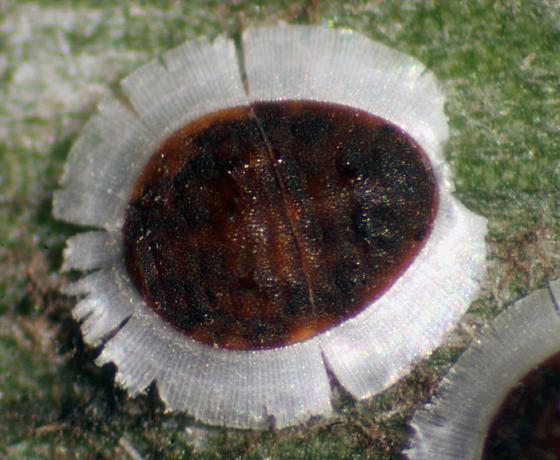 Palm aphid - Cerataphis