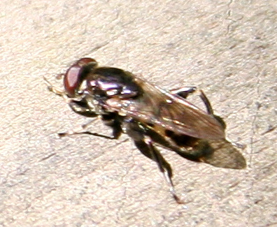 Fly ID Request - Chalcosyrphus nemorum - male