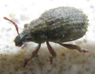 Broad-nosed Weevil - Romualdius scaber