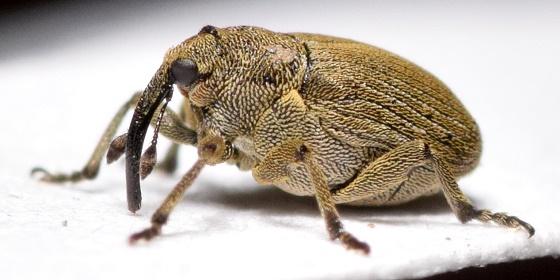 Ceutorhynchus rapae