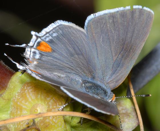 Strymon melinus? - Strymon melinus - female