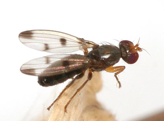 small fly - Geomyza tripunctata