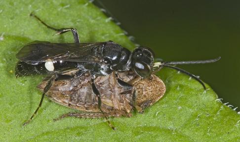 6014292 wasp - Alysson guignardi - female