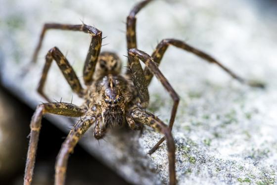 Creek Spider (Fishing?) - Dolomedes scriptus