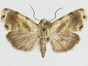 Ponometia septuosa - Hodges #9085.1 - Ponometia septuosa - male