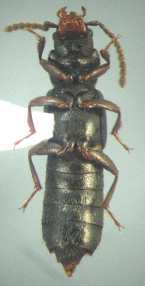 Coprophilus striatulus (Fabricius) - Coprophilus striatulus - male