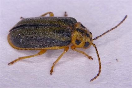 Unidentified beetle - Xanthogaleruca luteola