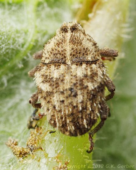 Spiky Snout Beetle - Trichosirocalus horridus