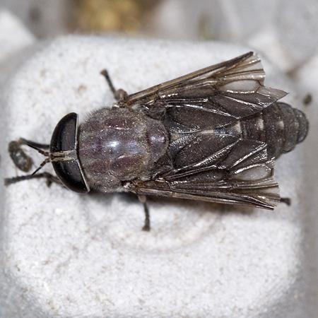Giant Fly - Tabanus