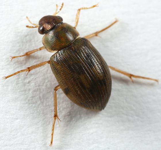 water scavenger beetle - Berosus
