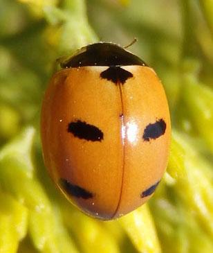 Lady beetle - Coccinella monticola