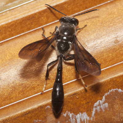 Square-headed Wasp - Trypoxylon lactitarse