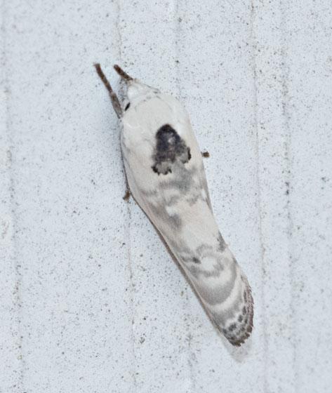white moth - Antaeotricha