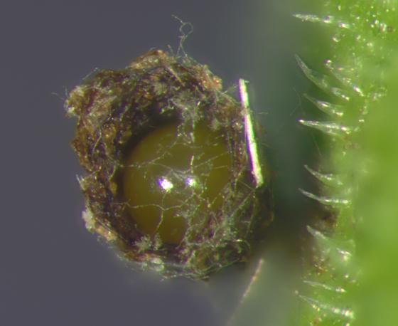 Chrysomelidae, . egg  - Exema