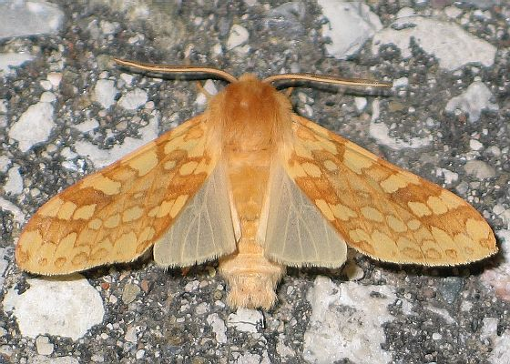 Spotted Tussock Moth - Lophocampa maculata