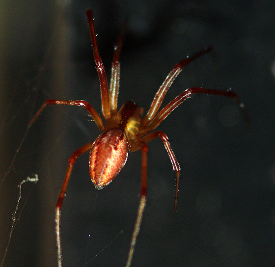 Red spider with yellow stripes