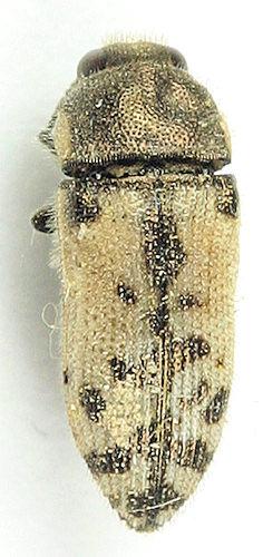 Acmaeodera - ? - Acmaeodera immaculata