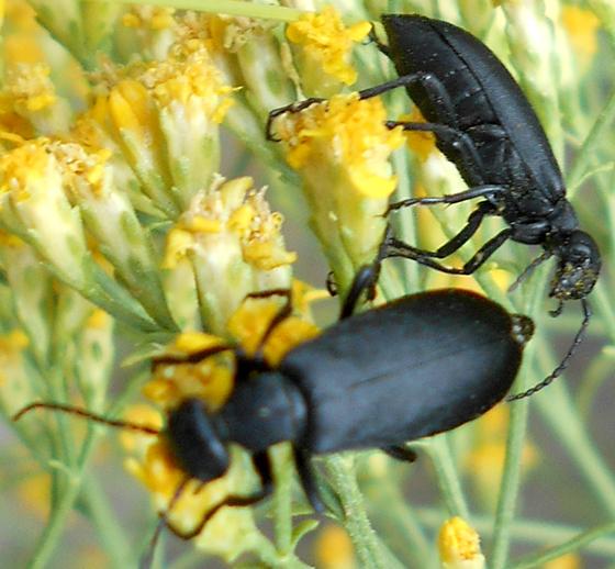 Black Beetle - Epicauta
