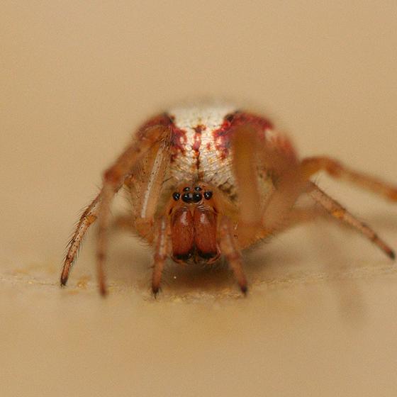 Female - Zygiella atrica - female