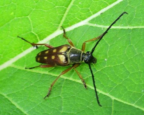 Tiger Beetle? - Typocerus velutinus