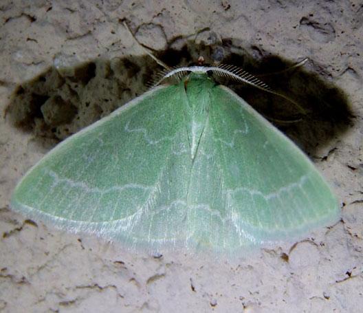 Synchlora - Synchlora aerata