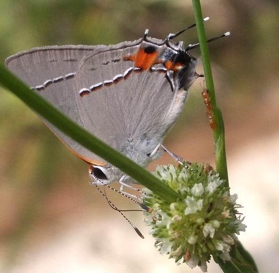 butterfly - Strymon melinus - male