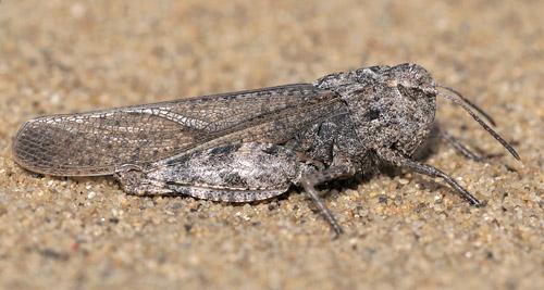 Adult conspersa - Arphia conspersa - female