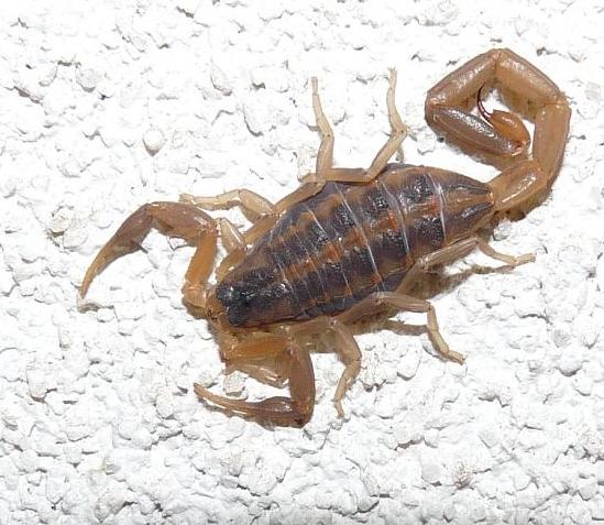 scorpion - Centruroides vittatus
