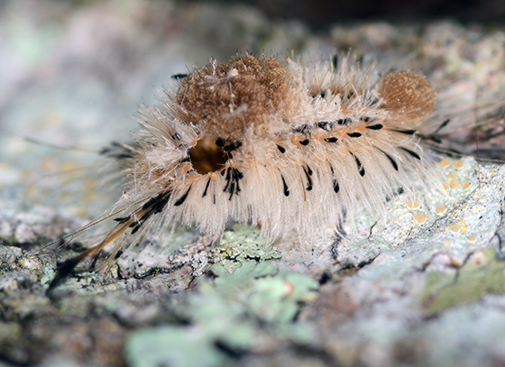 Parasitized Tussock Moth  - Dasychira