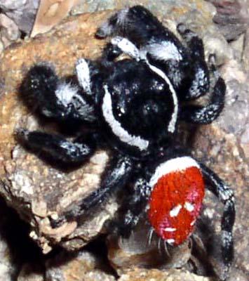 Phidippus carneus - male