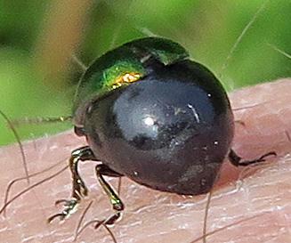 Green Dock Beetle - Gastrophysa cyanea - female