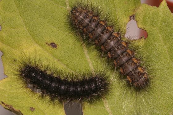Erebidae, Salt Marsh larva, comparison - Estigmene acrea