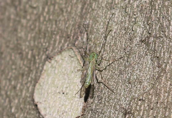 Possible Chironomini-Little Green Gnat