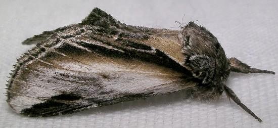 prominent - Pheosia rimosa