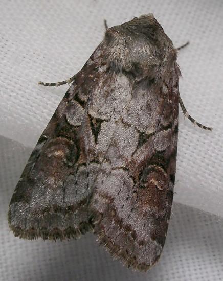 moth - Trichordestra legitima