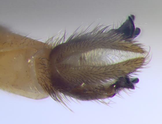 Ditomyiidae, terminalia - dorsal - Symmerus vockerothi - male
