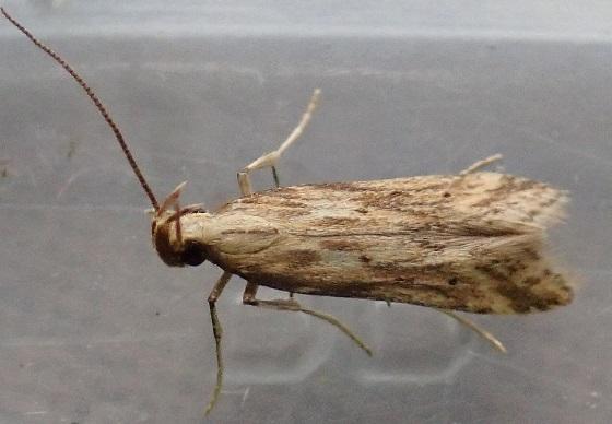 Metzneria lappella (Burdock Seedhead Moth) - Metzneria lappella