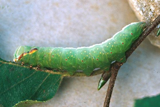 Chocolate Prominent 5th instar larva - Peridea ferruginea